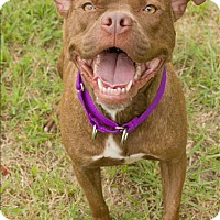 Pit Bull Terrier Mix Dog for adoption in Portsmouth, Virginia - Meadow