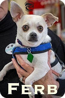 Chihuahua/Terrier (Unknown Type, Medium) Mix Dog for adoption in Clarkston, Michigan - Ferb *LOVES DOGS*