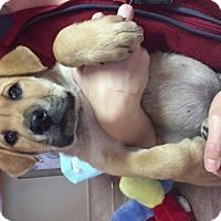 Adopt A Pet :: BearW - Olympia, WA