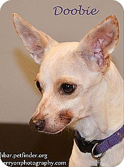 Chihuahua Dog for adoption in Bedford, Texas - Doobie