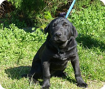 Great Dane/Shar Pei Mix Puppy for adoption in Oviedo, Florida - Genie