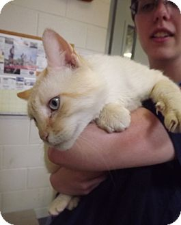 Turkish Van Cat for adoption in Fort Riley, Kansas - Chester