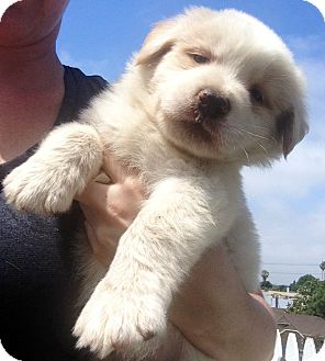 Saint Bernard Australian Shepherd Mix Puppies Traffic Club