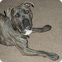 Adopt A Pet :: Tiger - Vernon Hills, IL