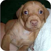 Adopt A Pet :: Dario - Novi, MI
