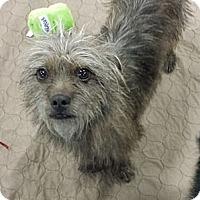 Adopt A Pet :: Archer - wirey cairn :) - Phoenix, AZ