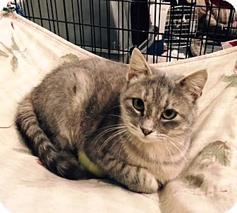 Domestic Shorthair Cat for adoption in Alden, Iowa - Sweet Girl