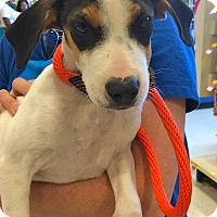 Adopt A Pet :: Runt IN CT - Manchester, CT