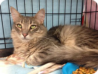 Domestic Shorthair Cat for adoption in Alhambra, California - Rogue