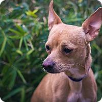 Adopt A Pet :: Joey - Berkeley, CA