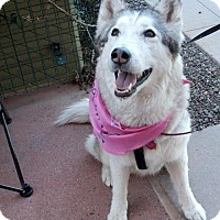 Adopt A Pet :: AVA COURTESY POST FOR PIF HUSKY RESCUE - Tempe, AZ