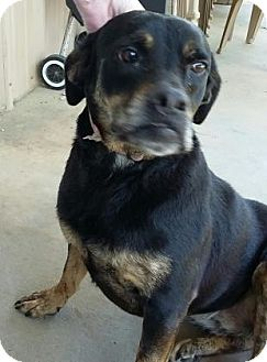 Rottweiler Mix Dog for adoption in Centerville, Georgia - Sheila