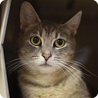 Domestic Shorthair Cat for adoption in St. Paul, Minnesota - June