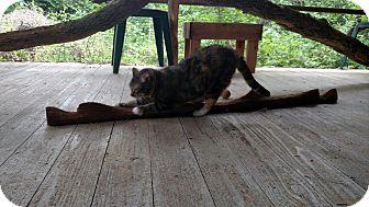 American Shorthair Cat for adoption in NAVASOTA, Texas - HANNAH