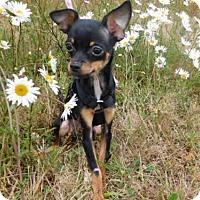 Adopt A Pet :: BENTLEY - McKinleyville, CA