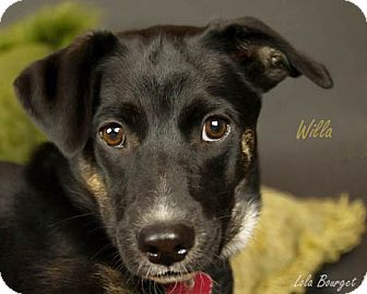 Collie Mix Puppy for adoption in Kirkland, Quebec - Willa is not Available
