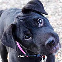 Adopt A Pet :: Clara - Warren, PA