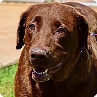 Labrador Retriever Mix Dog for adoption in Deer Park, New York - Coco