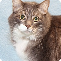 Maine Coon Cat for adoption in Encinitas, California - Sammie