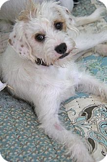 Terrier (Unknown Type, Small) Mix Dog for adoption in Yuba City, California - Leo