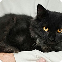 Adopt A Pet :: Shadow - Morganville, NJ
