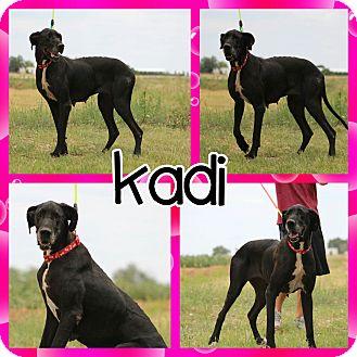Great Dane Dog for adoption in Lubbock, Texas - Kadi