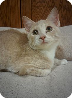 Domestic Shorthair Kitten for adoption in South Saint Paul, Minnesota - Clyde