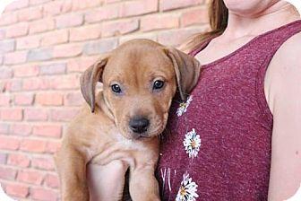 Labrador Retriever/American Staffordshire Terrier Mix Puppy for adoption in Los Banos, California - Selina