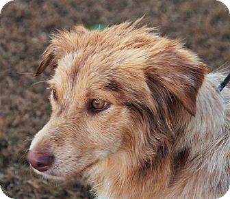 Australian Shepherd Mix Dog for adoption in Maynardville, Tennessee - Holly