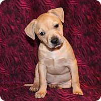 Adopt A Pet :: Dixie Chick - Los Angeles, CA