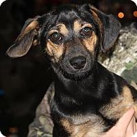 Adopt A Pet :: Chase - Beacon, NY