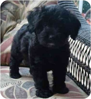 Poodle (Miniature)/Labradoodle Mix Puppy for adoption in The Villages, Florida - Jabulie