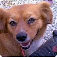 Adopt A Pet :: PETUNIA - dewey, AZ