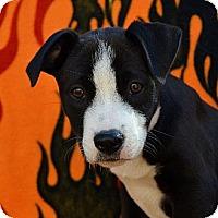 Adopt A Pet :: Oprah - Garland, TX