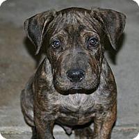 Adopt A Pet :: Spartacus - Phoenix, AZ
