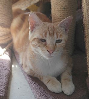 Domestic Shorthair Cat for adoption in San Pablo, California - SUNKIST