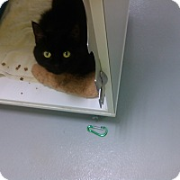 Adopt A Pet :: midnight - Muskegon, MI