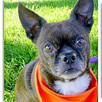 Adopt A Pet :: Taz super companion - Sacramento, CA