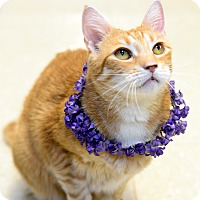 Domestic Shorthair Cat for adoption in Whitehall, Pennsylvania - Foxy Roxy