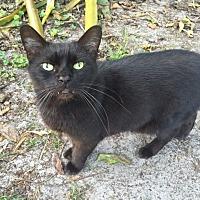 Domestic Shorthair Cat for adoption in Bonita Springs, Florida - Sensei