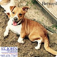 Adopt A Pet :: Bernard - Laplace, LA