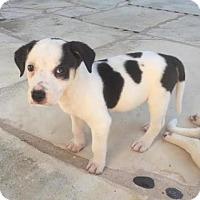 Adopt A Pet :: Kala - Austin, TX