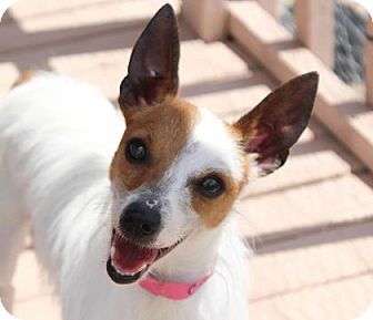 Terrier (Unknown Type, Small) Mix Dog for adoption in Colorado Springs, Colorado - Charm