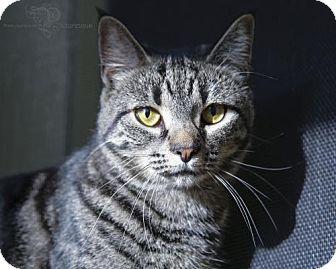 Domestic Shorthair Cat for adoption in Pendleton, New York - Martha