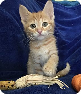 Domestic Shorthair Kitten for adoption in Nashville, Tennessee - George Forman
