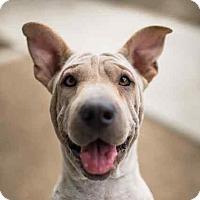 Adopt A Pet :: ELLIE - Los Angeles, CA