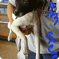 Terrier (Unknown Type, Medium) Dog for adoption in Fort Worth, Texas - Steve