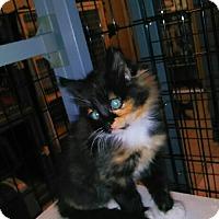 Adopt A Pet :: KRICKET - Elk Grove, CA