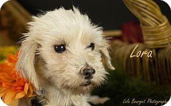 Maltese Dog for adoption in Kirkland, Quebec - Lora is Reserved