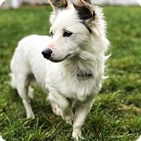 Adopt A Pet :: Ikey - Staten Island, NY